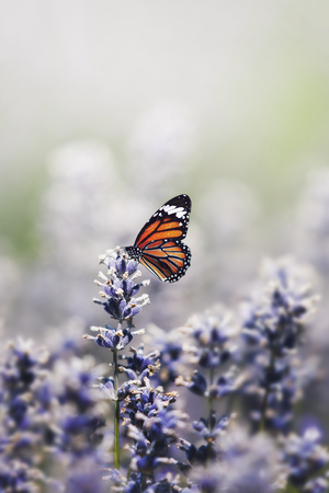 Monarch butterfly on the lavender stamen Stock Photo
