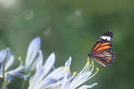 Monarch butterfly on an agapanthus stamen Stock Photo - 119987320