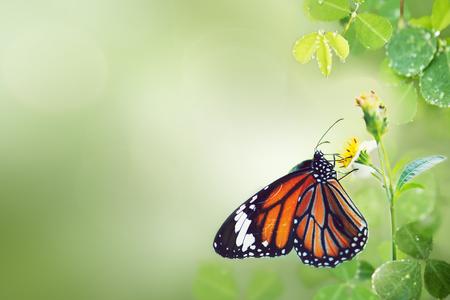 Monarch butterfly on flower stamen macro shot