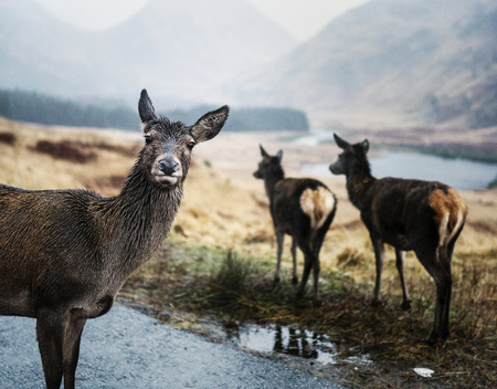 Deers on the road at Glen Etive, Scotland 版權商用圖片