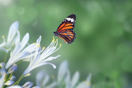 Mariposa monarca en un estambre de agapanthus Foto de archivo