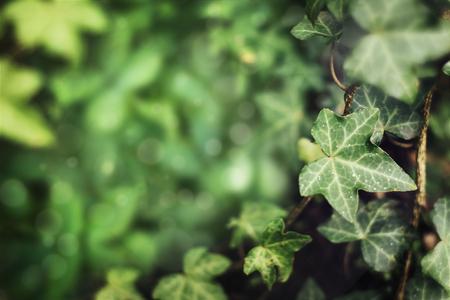 Grüner Efeuzweig in einem Garten Standard-Bild