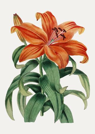 Vintage Thunberg's orange lily branch for decoration Illustration