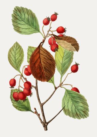 Vintage plum leaved thorn flower branch for decoration