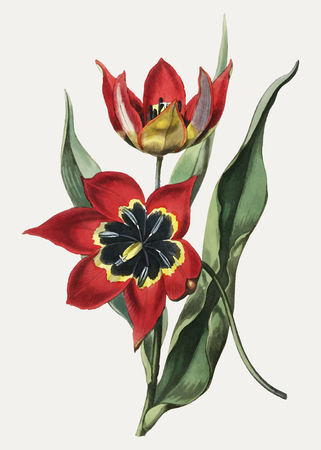 Vintage red strong smelling tulip branch for decoration Illustration