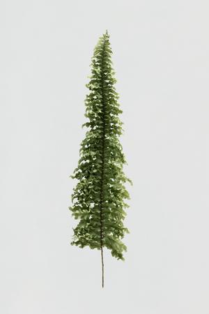 Boston fern on white background