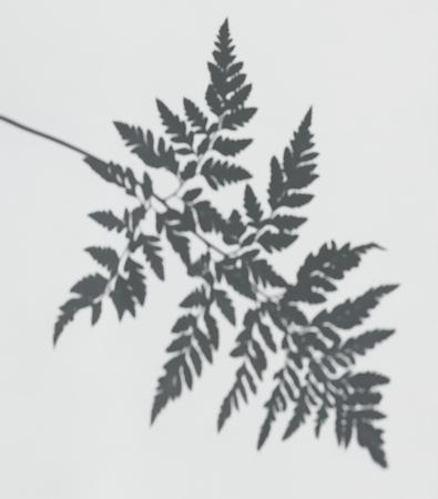 Shadow of a fern leaf on a white wall