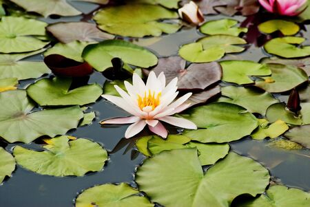 watergarden: water lily Stock Photo