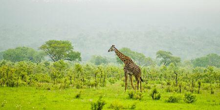 light duty: giraffe