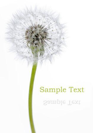 fuzz: Dandelion