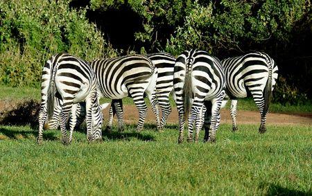 group of zebras photo