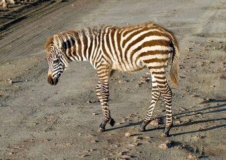 Zebra foal photo