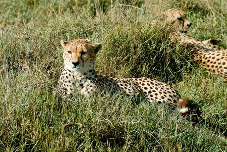 chetah: two laying cheetahs Stock Photo