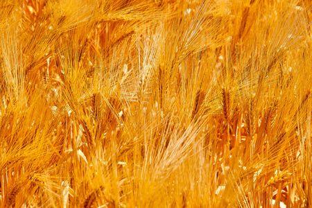 golden wheat field  Stock Photo - 7542478