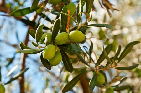 olive branch: Olives  Stock Photo
