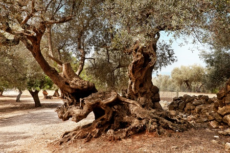 italy landscape: Olives Tree Stock Photo