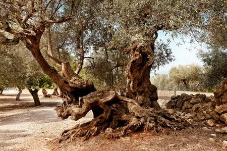 Olives Tree Stock Photo
