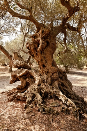 olive farm: Olives Tree Stock Photo