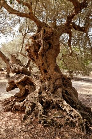 old farm: Olive Tree
