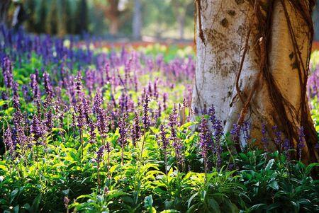 lavendar: lavendar garden Stock Photo