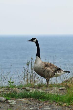 Goose of Presque Isle Marquette Michigan