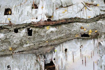 marquette: Lighting Strike On Birch Tree Bark