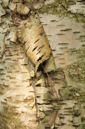 marquette: Birch Bark Curl In Sunbeam