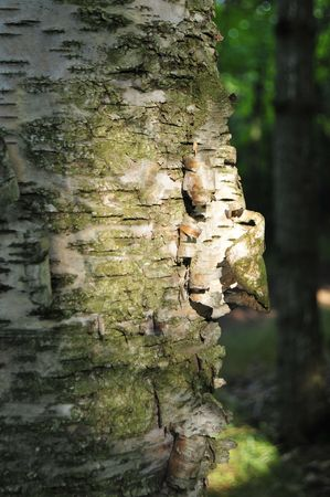 marquette: Isolated Sunbeam On Birch Tree Bark Stock Photo