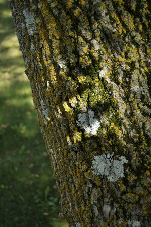 alder tree: Sun And Moss On Tag Alder Tree