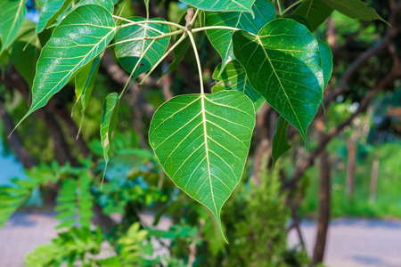 Peepal or bodhi leave from the bodhi tree photo