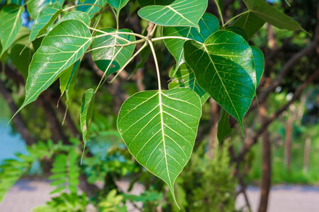 pipal leaf green color photo