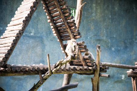 simian: cute monkey at the zoo