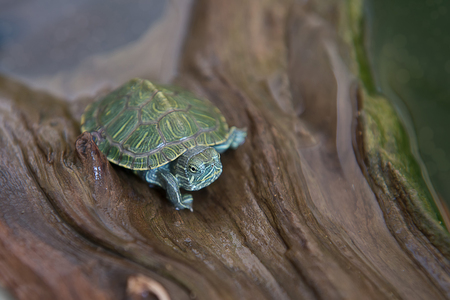 terrapin: Small Turtle, Pond Terrapin Sitting On Wood, Baby turtles.