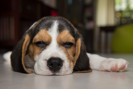 beagle puppy: beagle puppy, beagle  puppy sleeping Stock Photo