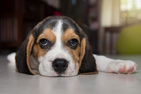 ビーグル犬の子犬、ビーグル犬の子犬を家庭で。 写真素材
