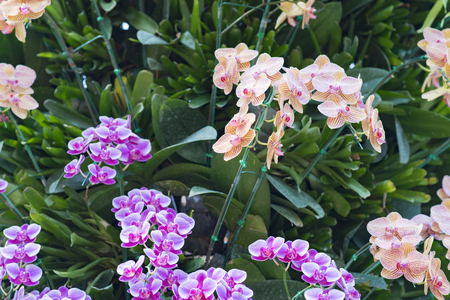 olant: BeautifulOrchid,phalaenopsis,orchid