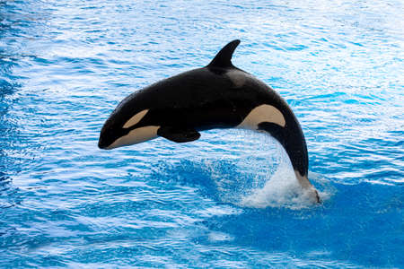 Beautiful killer whale doing a marine show. Tenerife, Canary Island.