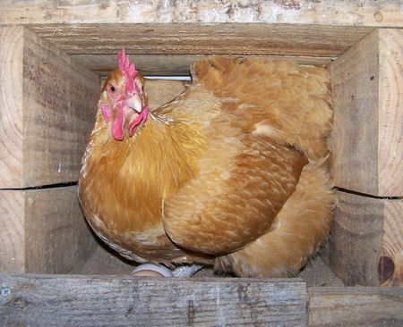 barnyard: Protective Mother Hen Guarding Her Eggs Stock Photo