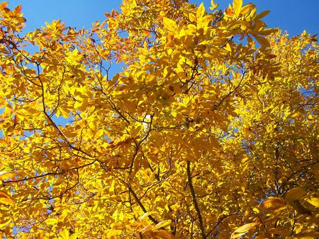 Hickory tree with fall coloring photo