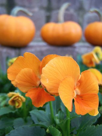 Orange Flowers with Pumpkins in Background photo