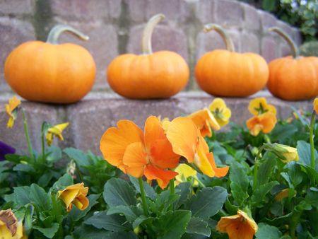 Orange Pansies with Pumpkins in Background photo