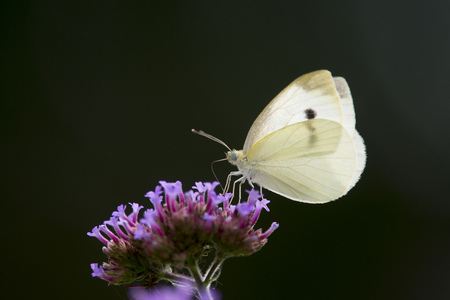 A small white butterfly lands on a purple flower with a black background.
