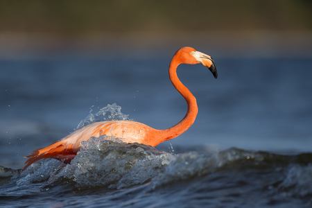 An American Flamingo is splashed by a small wave.