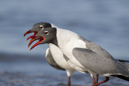 noises: A pair of Laughing Gulls sporting their striking breeding colors perform a courtship ritual together on the beach along the Delaware Bay shoreline in southern New Jersey.