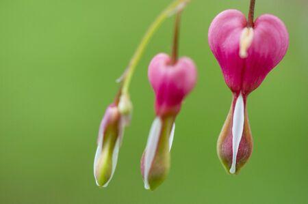 hemorragias: Un primer plano de una rosa brillante flores del coraz�n sangrante contra un fondo verde. Foto de archivo