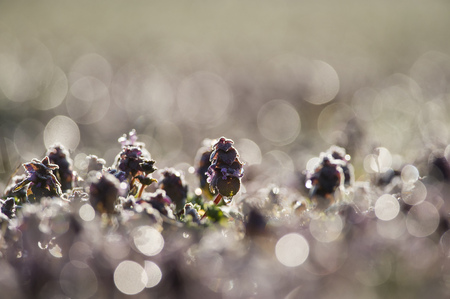 small field: A small field of dew covered purple flowers is back-lit by the morning sun.
