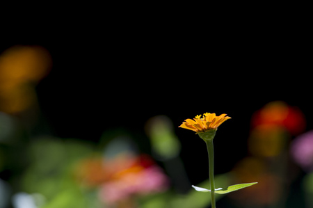 A colorful garden of Zinnia flowers being lit by the bright summer sun against a black background. Stok Fotoğraf