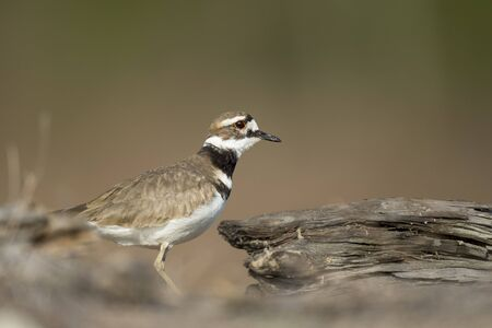 peers: A Killdeer bird cautiously peers out from behind some large driftwood to get a look at its surroundings.