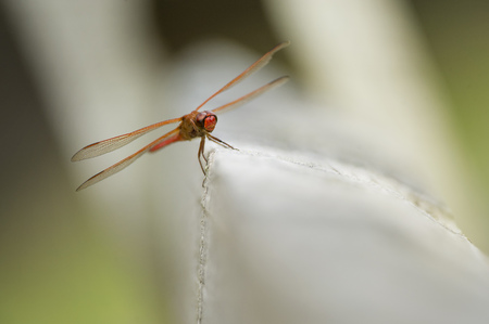 fence post: A bright red dragonfly perches on a wooden fence post.