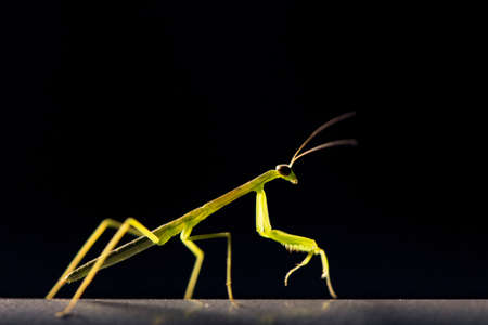 praying mantis: A small praying mantis is glowing in the dark against a black background.